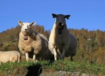 Lots of sheep at Fretland