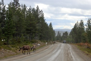 Reindeer along the road. This was only the beginning