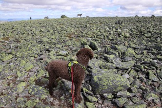 Reindeer on the summit plateau
