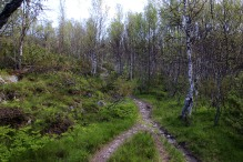 Into the birch forest