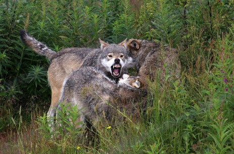 The non-domesticated wolves are fed