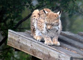 In the lynx park