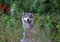 My first wolf encounter, yet feeling totally safe
