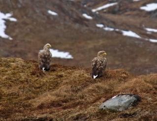 Eagles on Syrebakkane