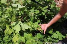 """Wild"" grapes!"