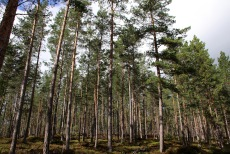 Nice pine forest