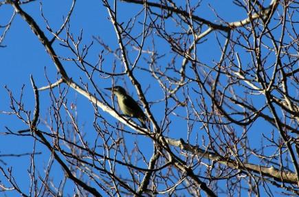 Picus viridis - European Green Woodpecker