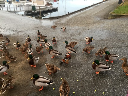The ducks rule in Volda
