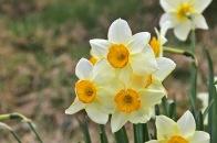 Daffodil - Narcissus poëticus