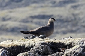 One of the Skuas - currently peaceful